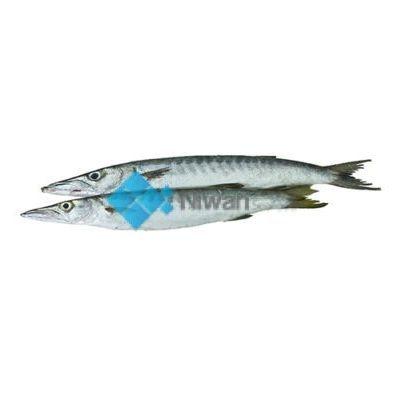 White Barracuda (Safaid Kund)