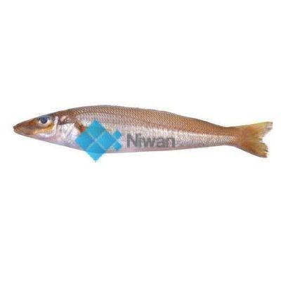 Lady Fish (Bhambore)