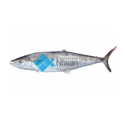 King Mackerel (Surmai)