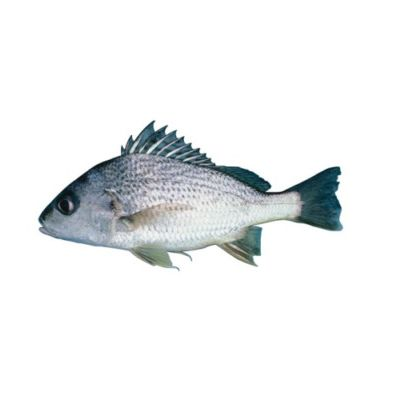 Spotted Grunter Fish (Hulri Dothar)