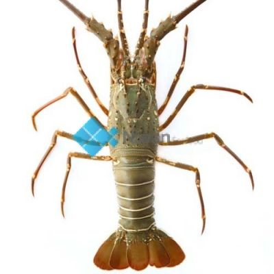 Green Lobster